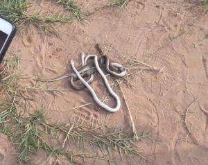 Carl Reindorf Park a danger zone as fans kill 3 SNAKES during clash between Liberty and Hearts